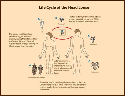 Louse Life Cycle